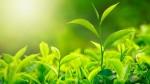 Cách làm đẹp sau sinh đơn giản, rẻ tiền từ lá trà xanh
